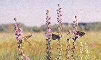 Butterflies and native prairie flowers.