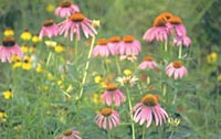 Field of purple coneflowers.