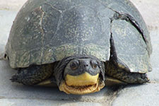 turtle with cracked shell
