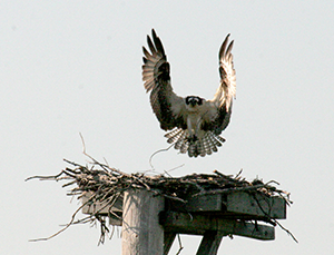 Osprey nest on powerline tower