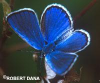 Nabokov's Blue Butterfly