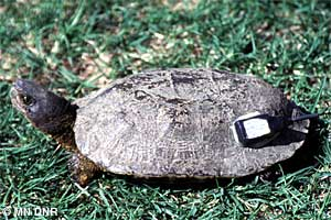 Wood turtle with tracking device