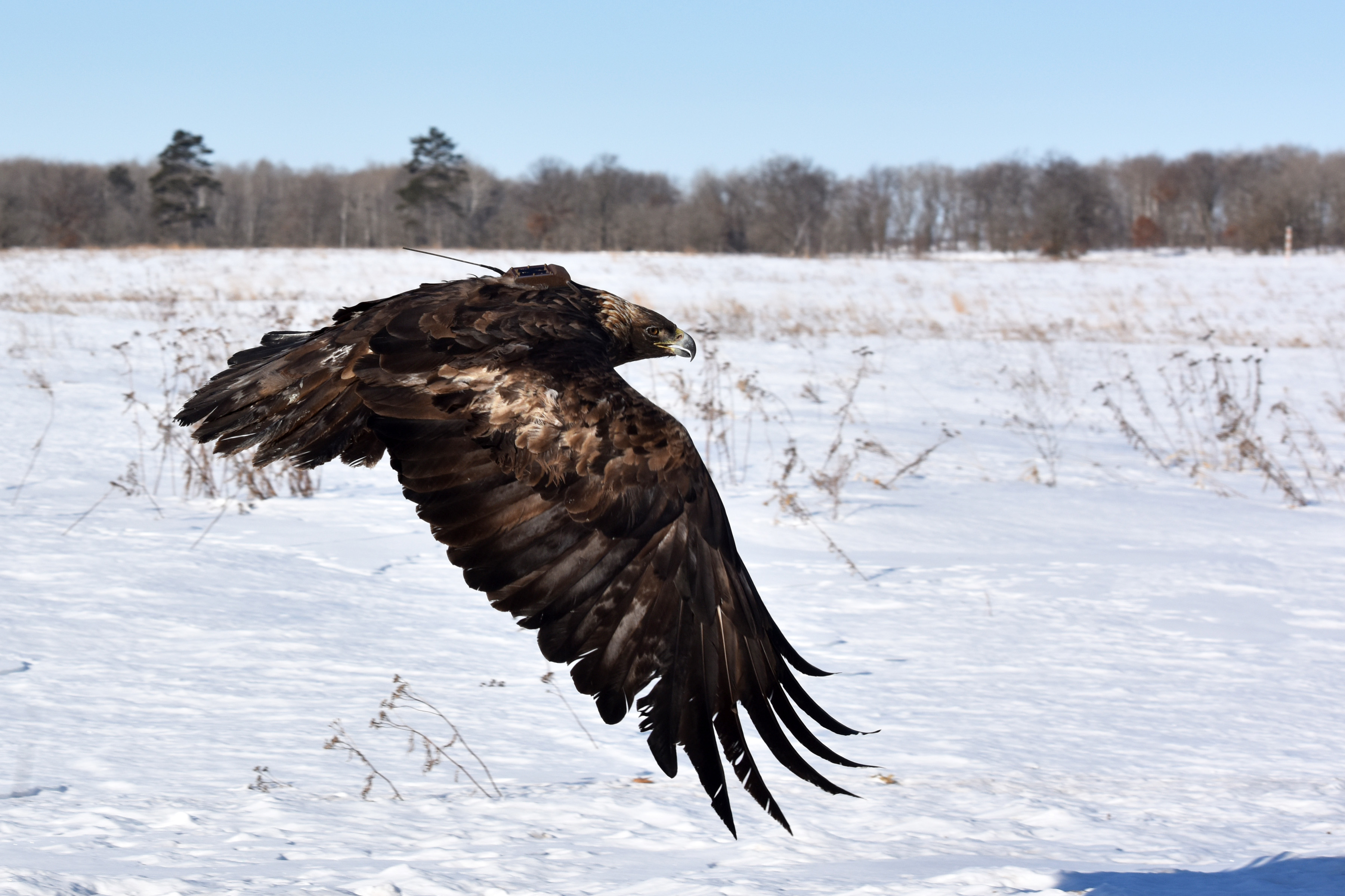 golden eagle being release