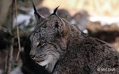 Picture of a Canada Lynx