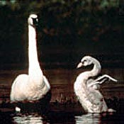 Adult trumpeter swan with a cygnet.