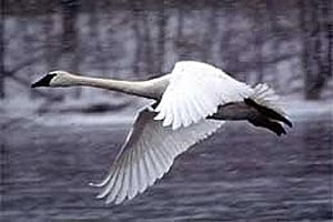 Trumpeter swan flying over a body of water.