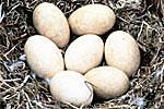 Trumpeter swan eggs.