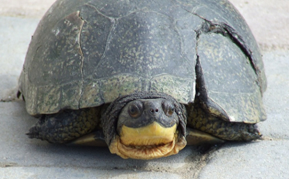 Blanding's Turtle showing an injury caused by a car impact.