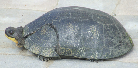 Blanding's Turtle with car impact injury.