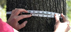 person measuring a tree trunk with tape measure