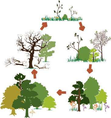 Graphic of succession on a deciduous forest