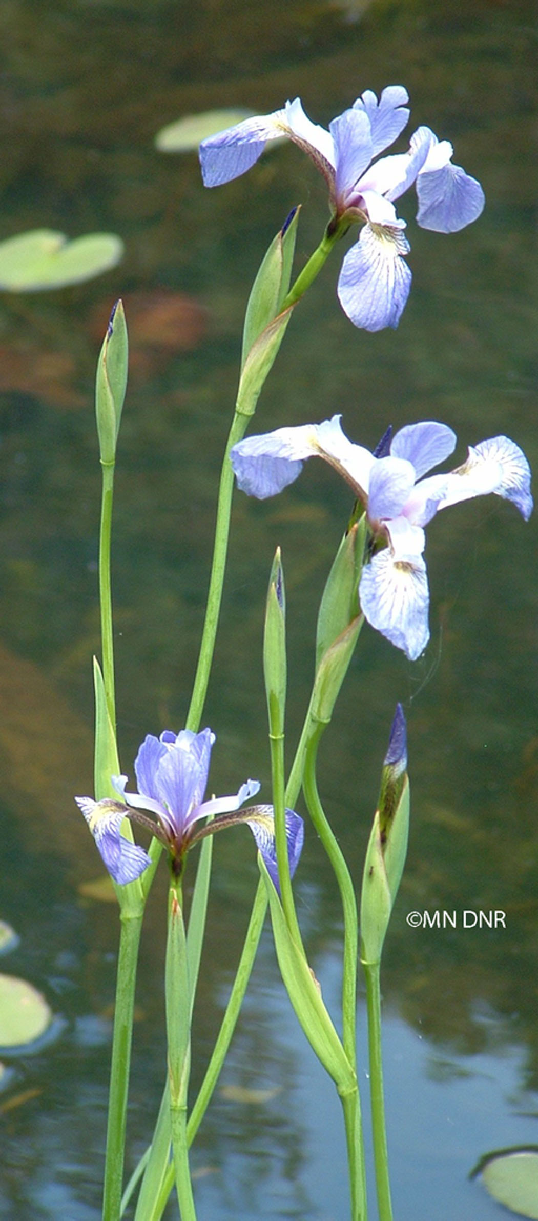 Northern Blue Flag Iris Photo