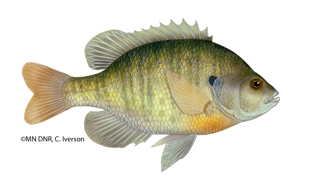 Bluegill Flipped