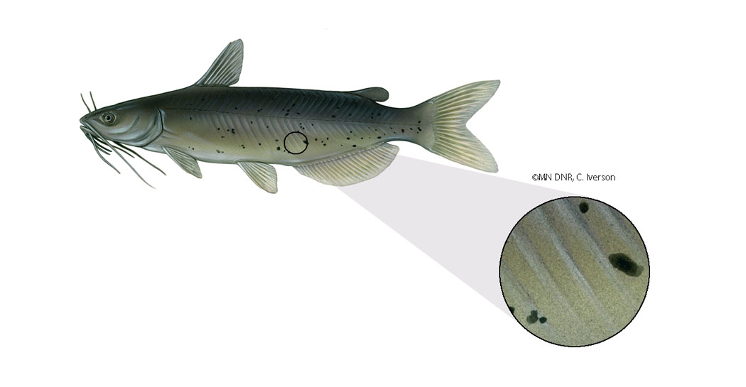 Catfish Skin