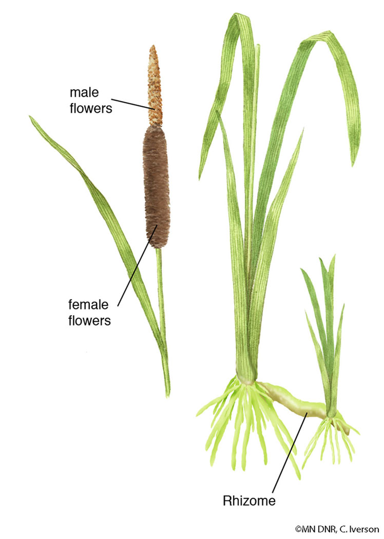Broad-leaved Cattail