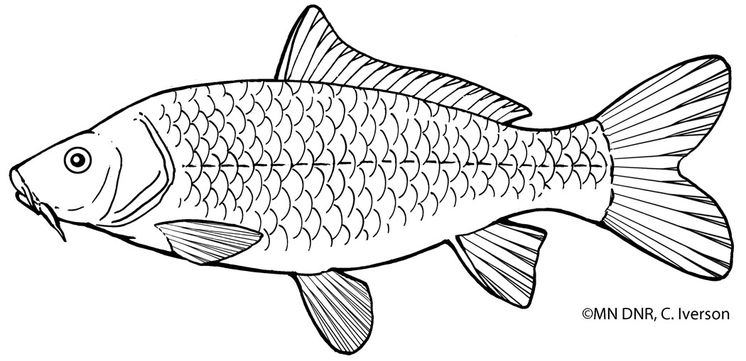 Common Carp Outline