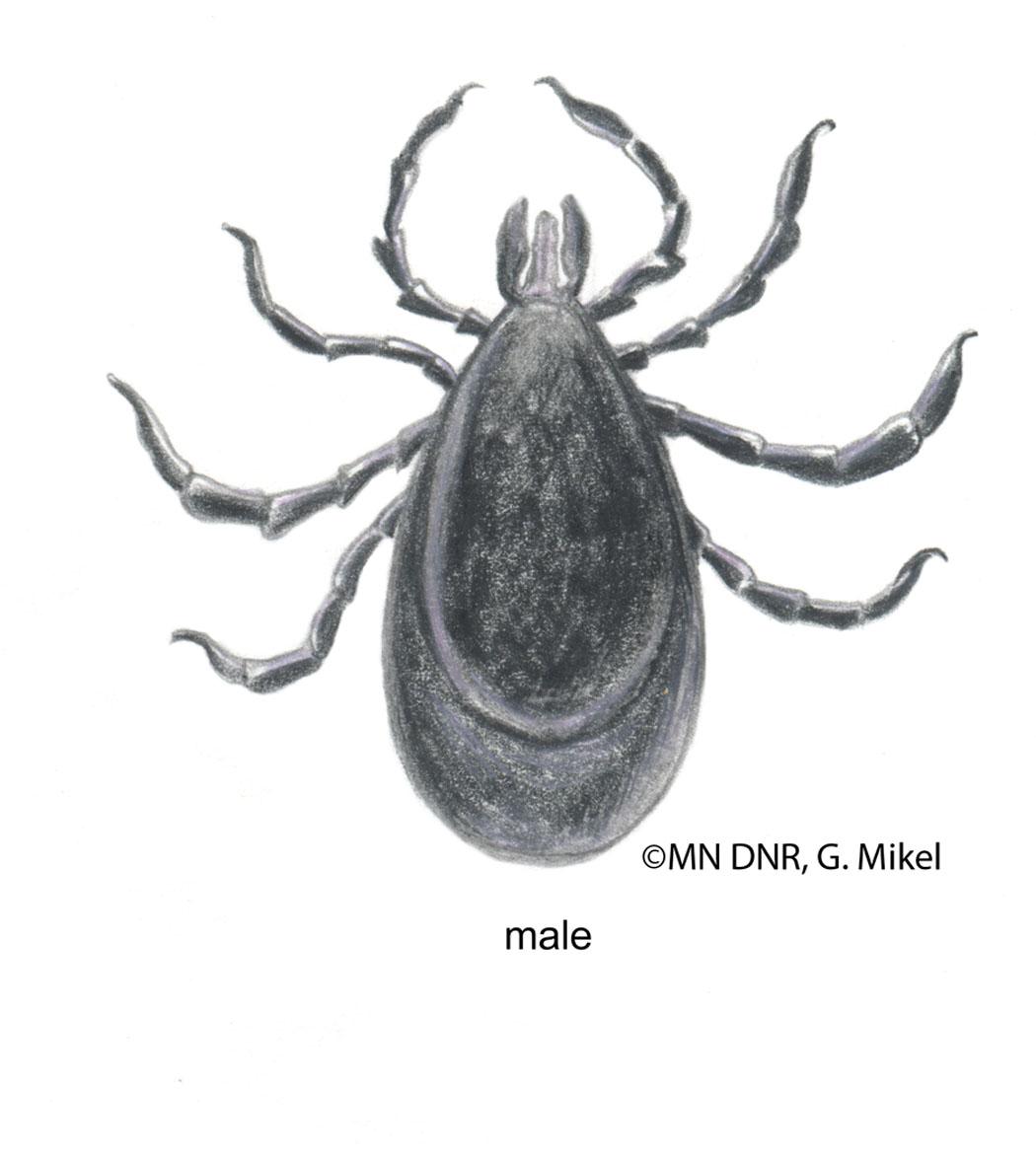 Deer Tick Male