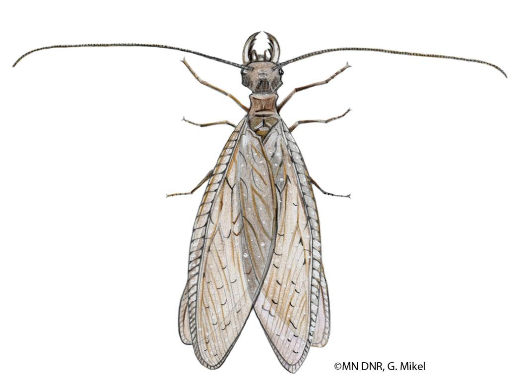 Dobsonfly Female
