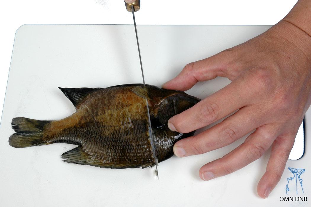 Filleting panfish step 2