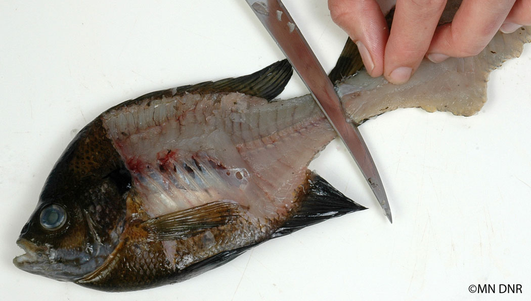 Filleting panfish step 6