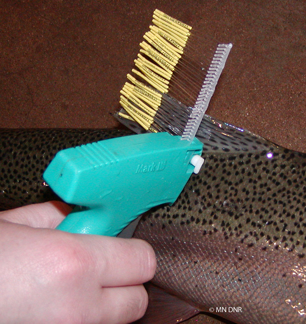 putting a fish tag in a rainbow trout