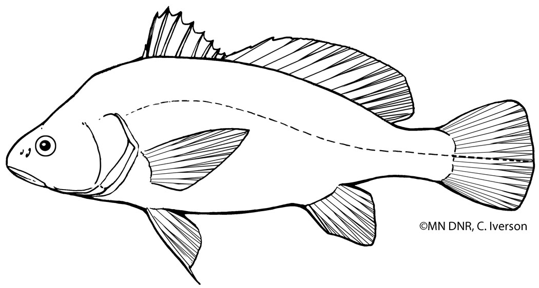 Freshwater Drum Outline