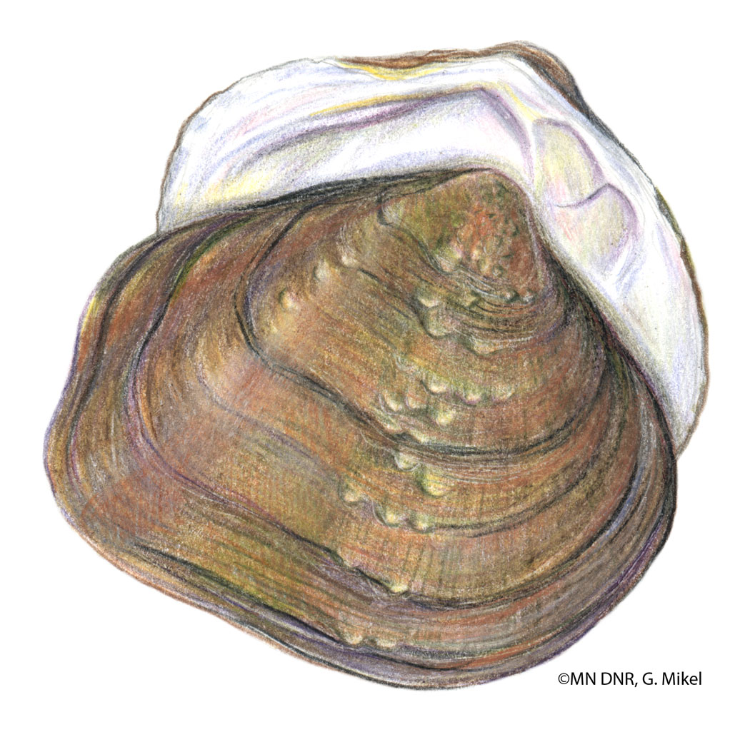 Species Profile - Freshwater Mussels - Minnesota DNR - MN Department ...