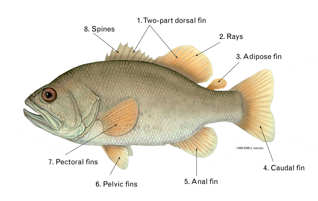 Generic Fish with fins
