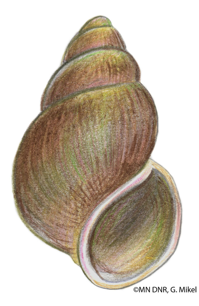 Gilled Snail Shell