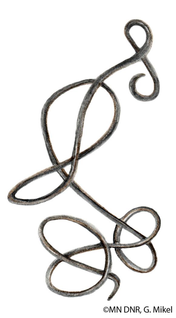 Horsehair Worm