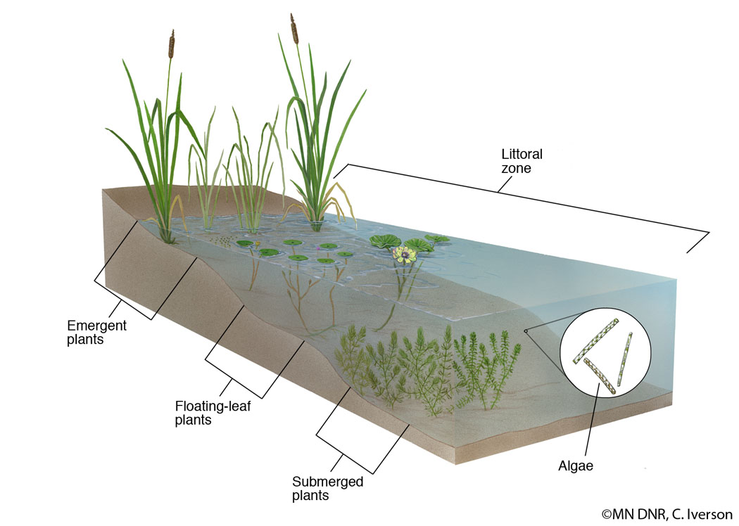 cross section of a pond littoral zone
