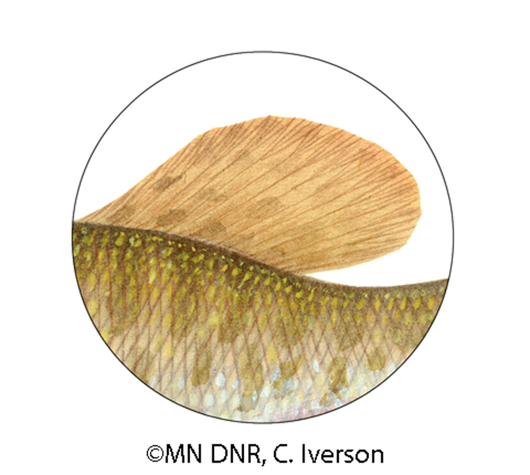 Muskellunge Dorsal Fin Closeup