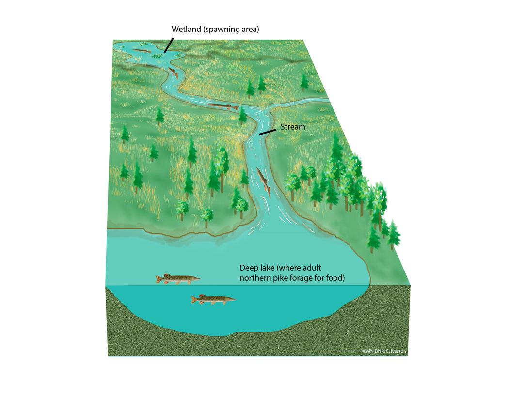 Northern Pike Migration Route