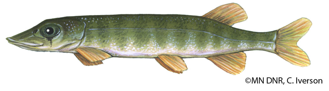 Northern Pike Fingerling