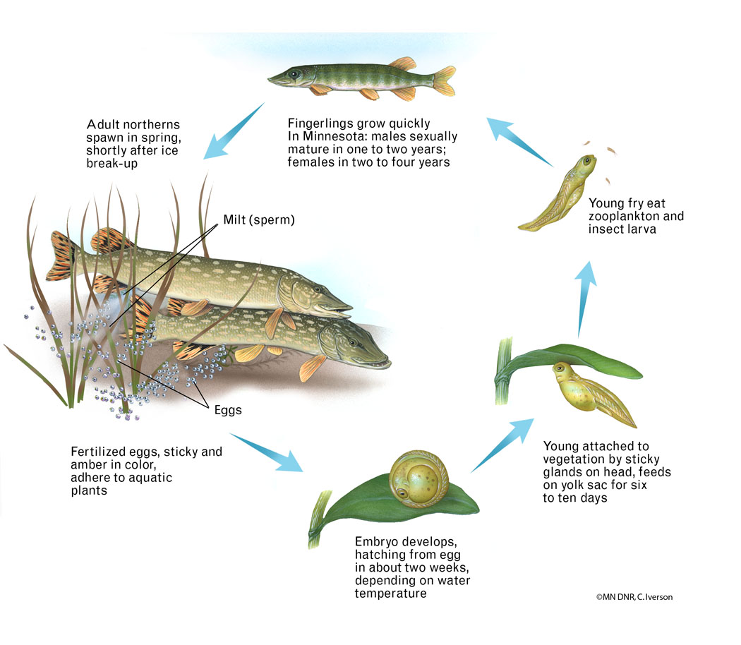 Diagram of a Northern Pike Life Cycle