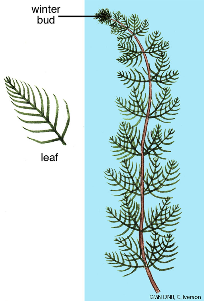 Northern Water Milfoil