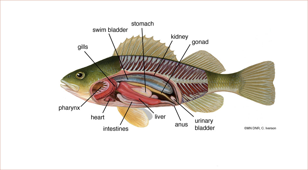 Yellow Perch Anatomy