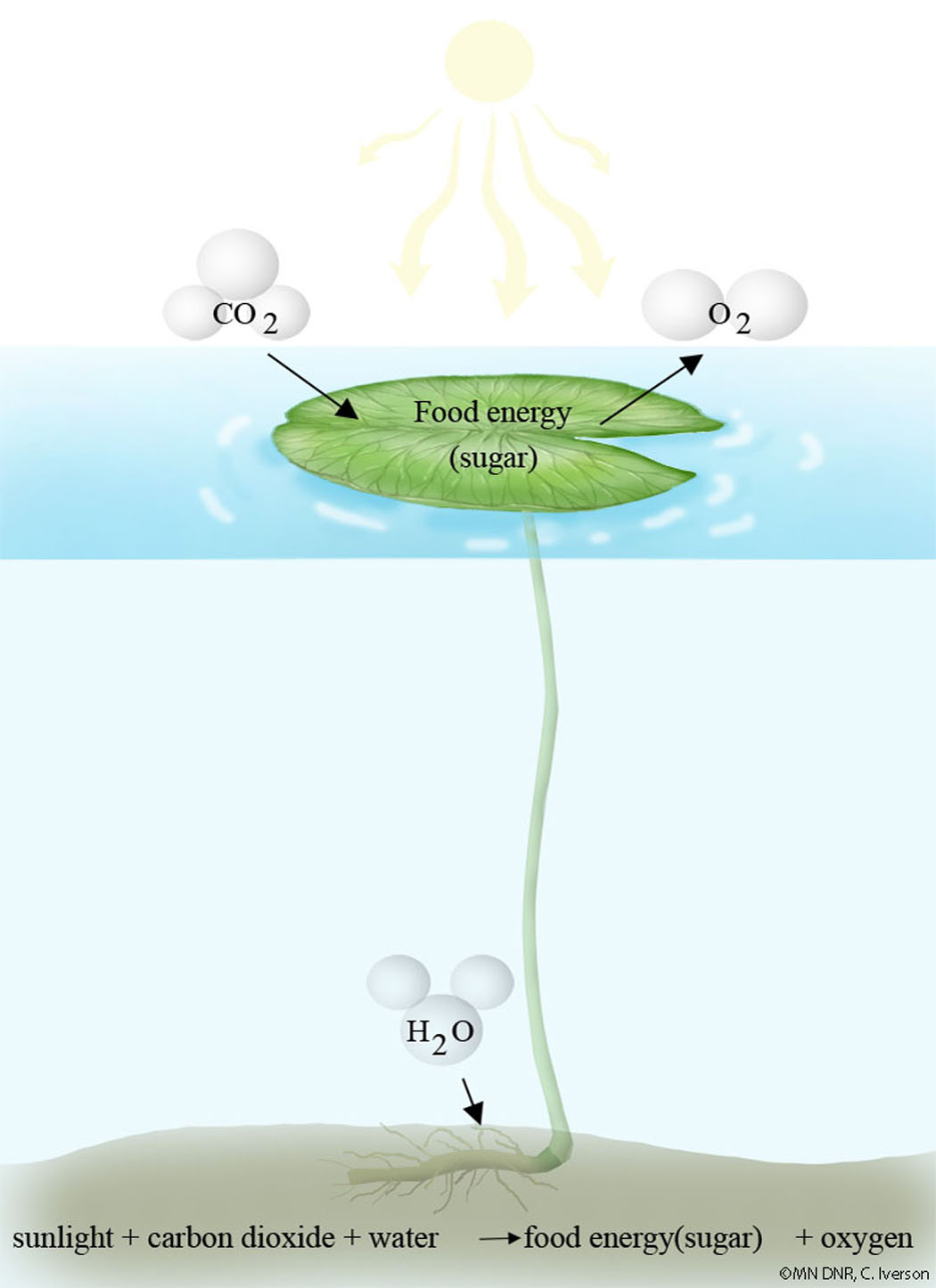 Photosynthesis Illustration