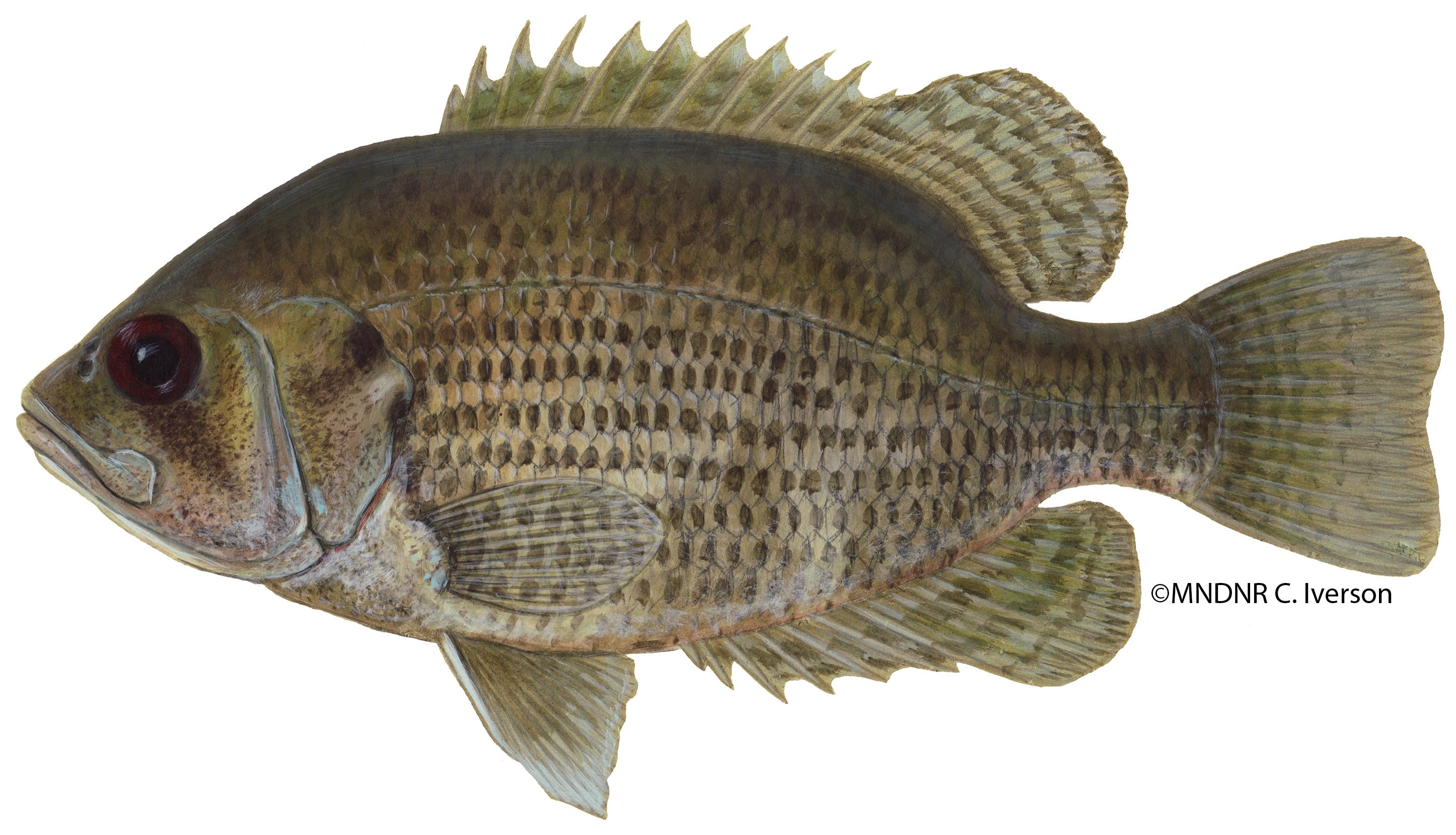 Rock Bass