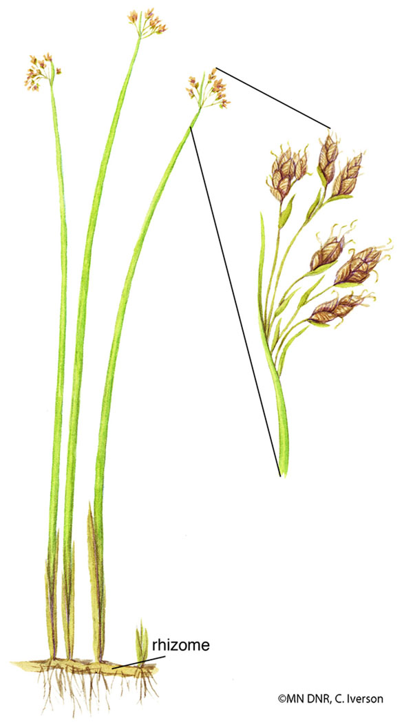 Softstem Bulrush