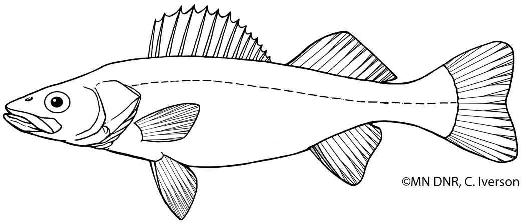 Walleye Outline