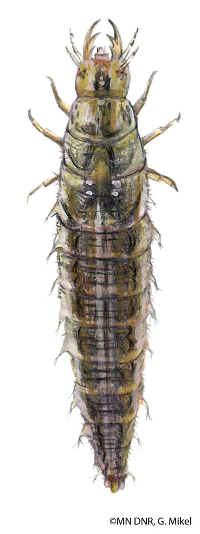Water Scavenger Beetle Larva