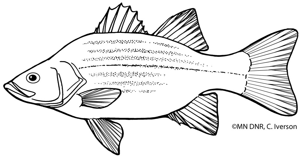 White Bass Outline