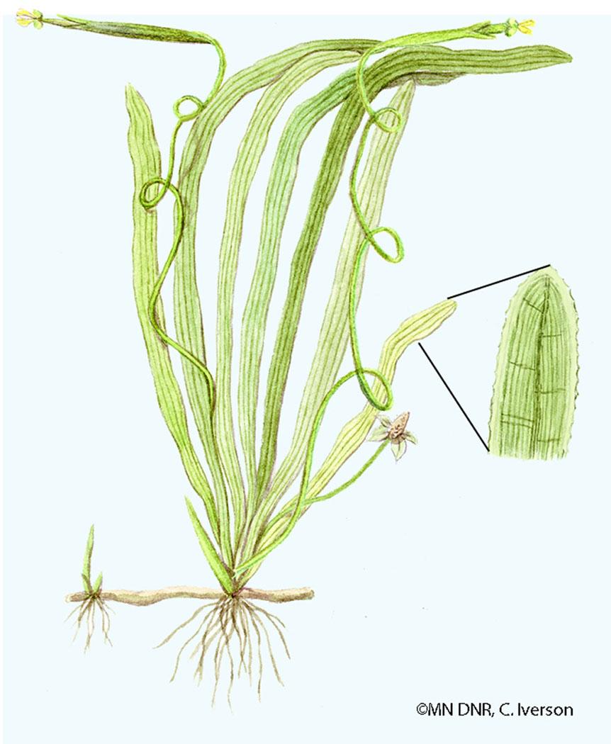 Wild Celery
