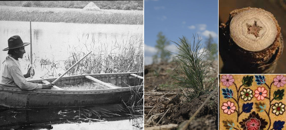 Collage of images, wild rice being harvested by canoe, planted pine seedling, textile design based on Ojibwe and Dakota designers, pith of a cottonwood tree shaped like a start notes in Dakota traditional stories.