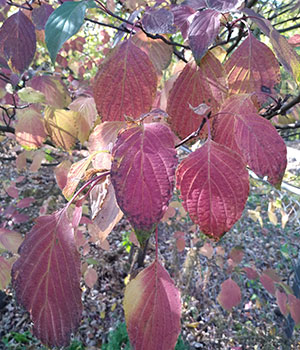 red leaves of a dogwood