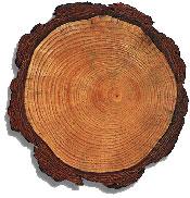 photo: tree cookie