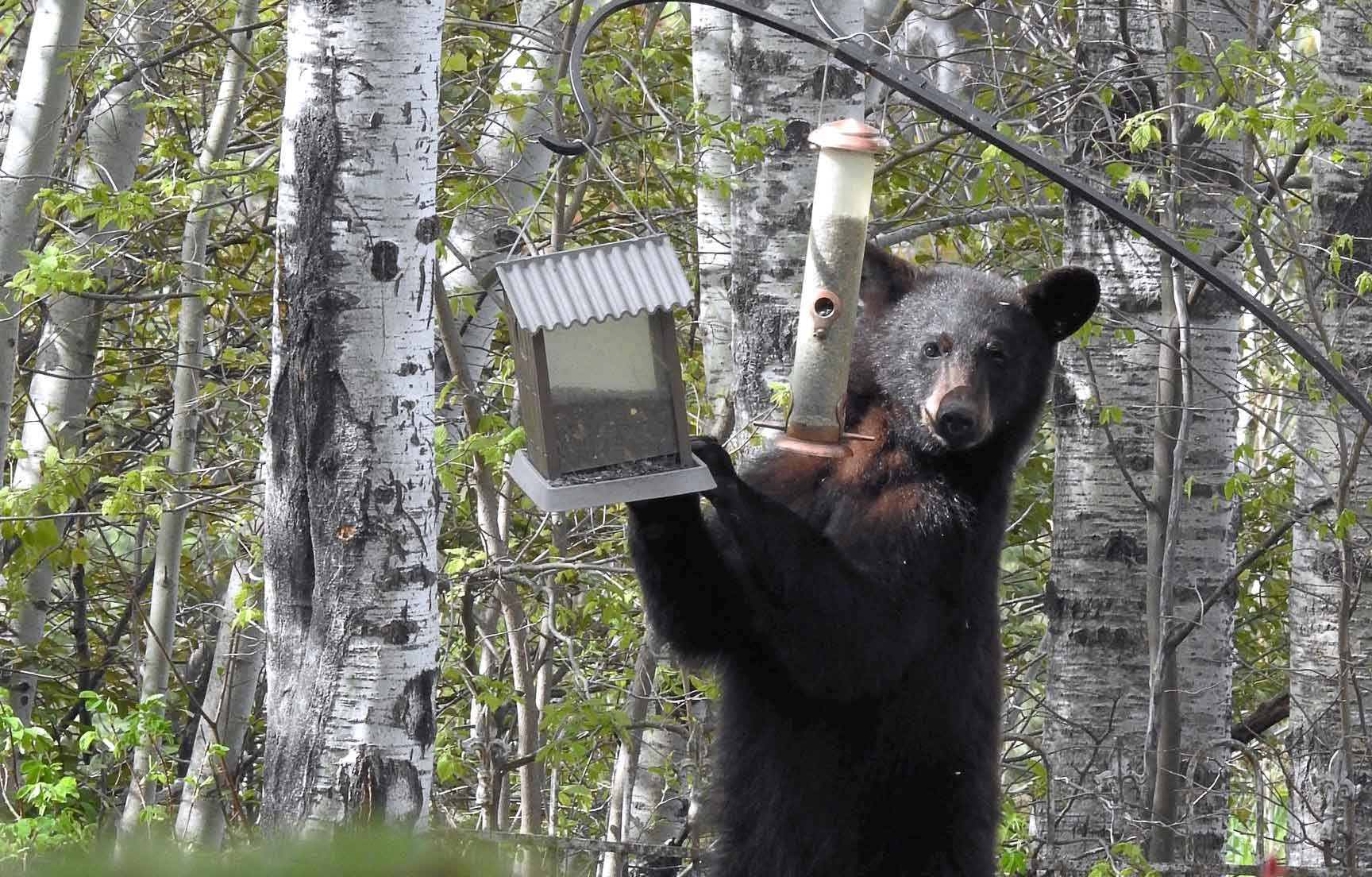 a black bear eating out of a hanging bird feeder