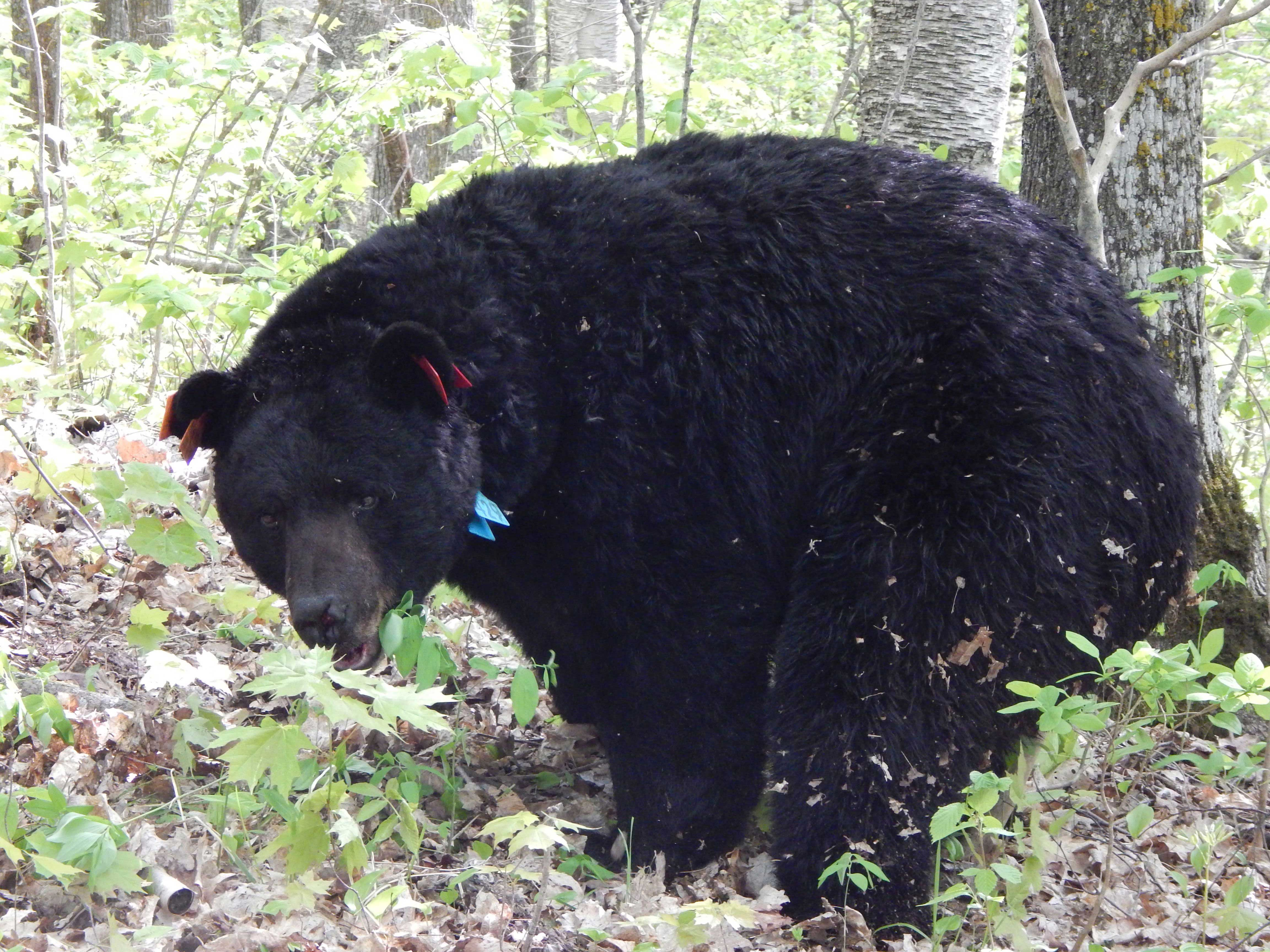 A research bear with tags in its ears and a collar
