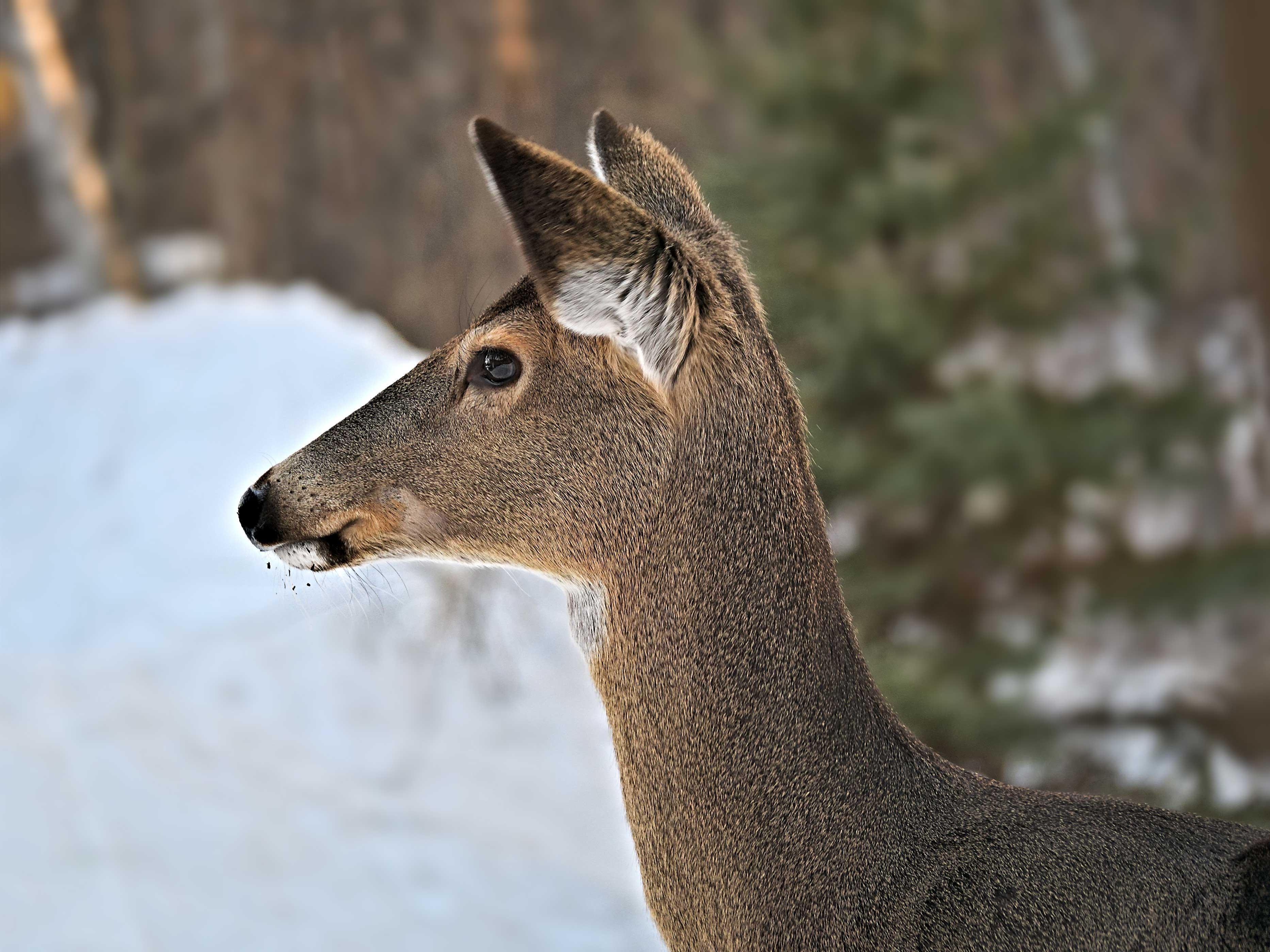 An antlerless deer